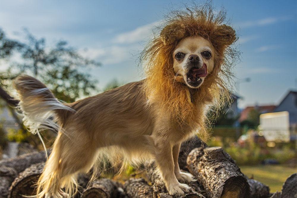 Focení psů, případně jiných domácích mazlíčků - Lev