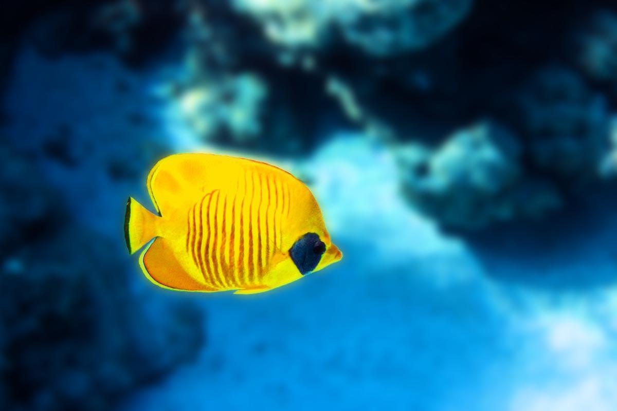 Podvodní fotky - Rudé moře - klipka, Bluecheek-butterflyfish