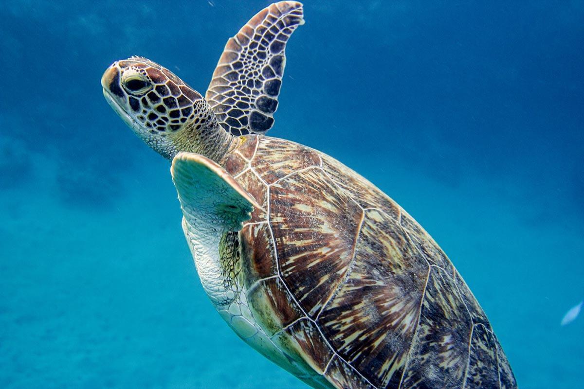 Podvodní fotky - Rudé moře - mořská želva, kareta
