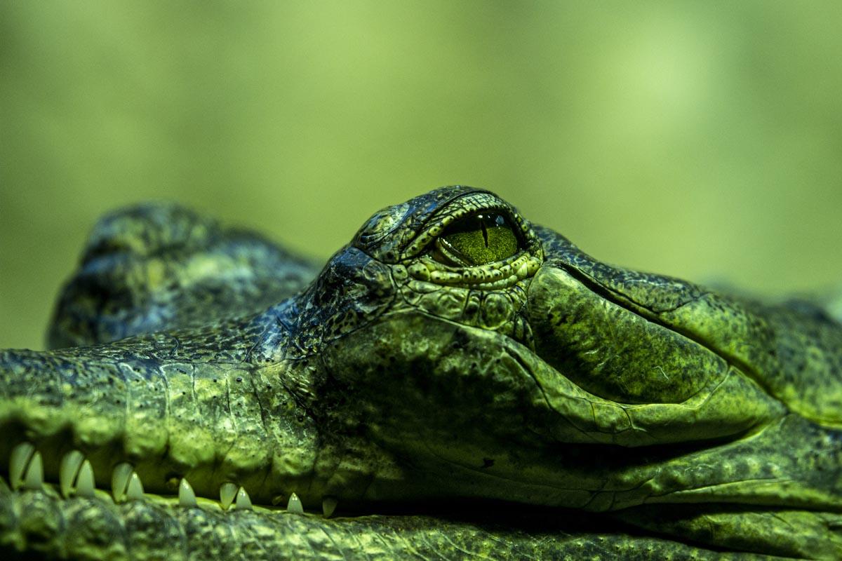 Fotografování zvířat - Kajman, detail