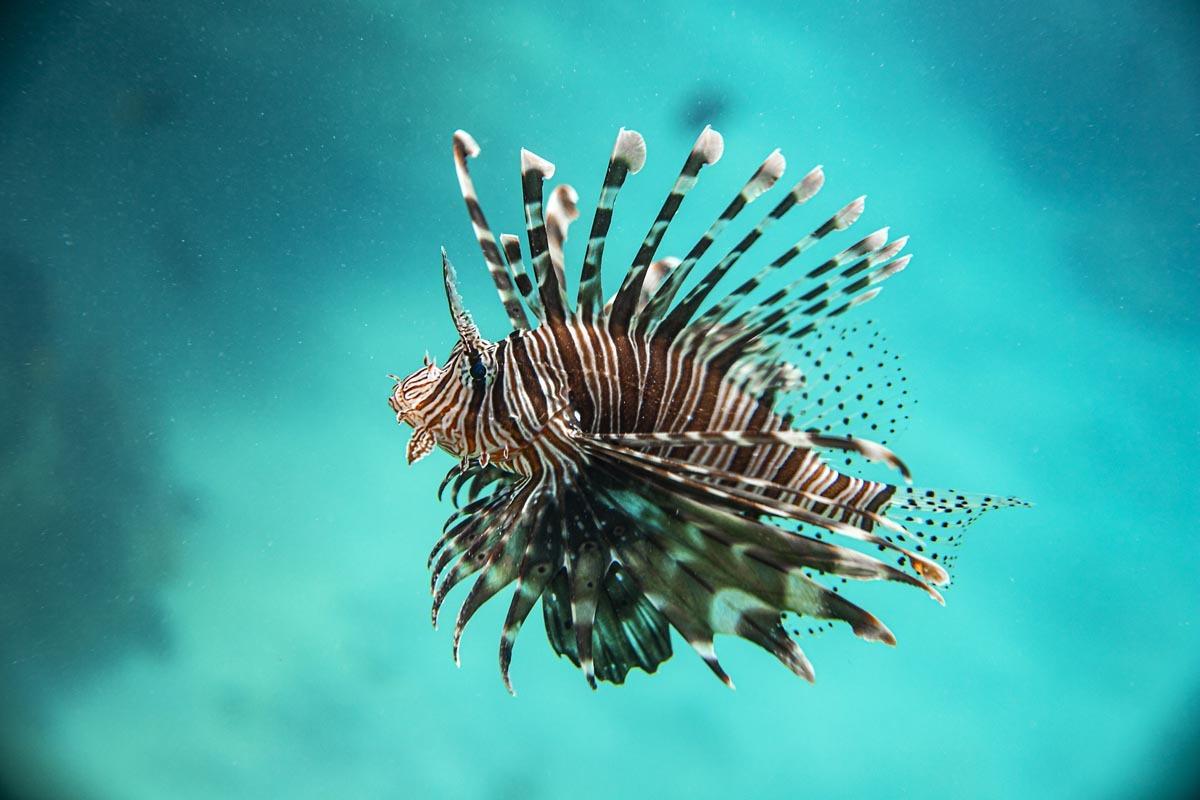 Podvodní fotky - Rudé moře - perutýn