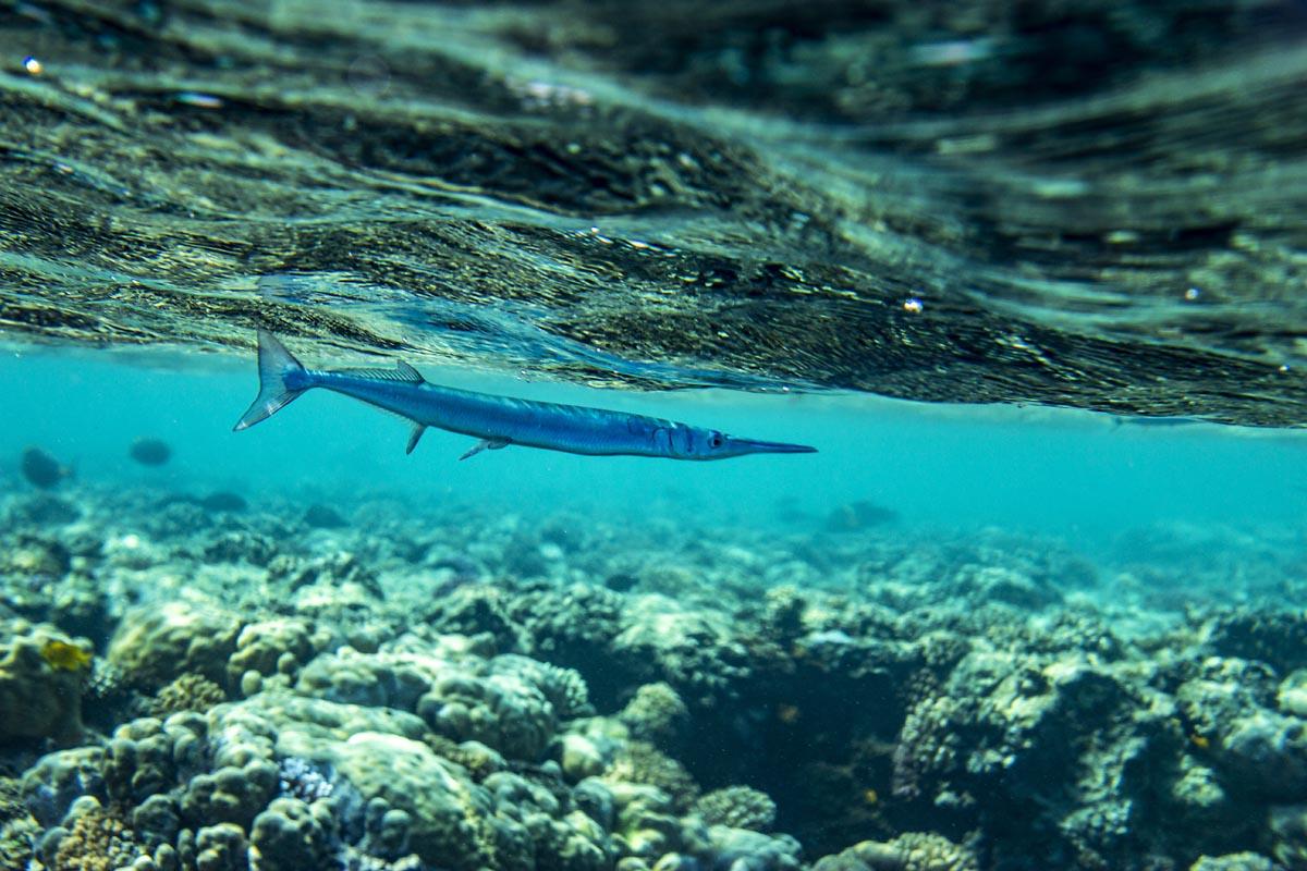 Podvodní fotky - Rudé moře - jehlice