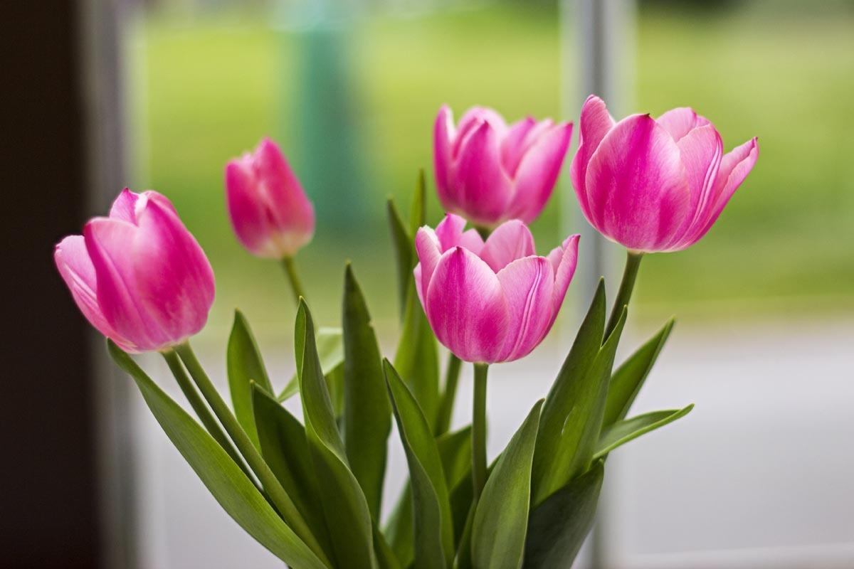 Fotografování přírody - kytice tulipánů
