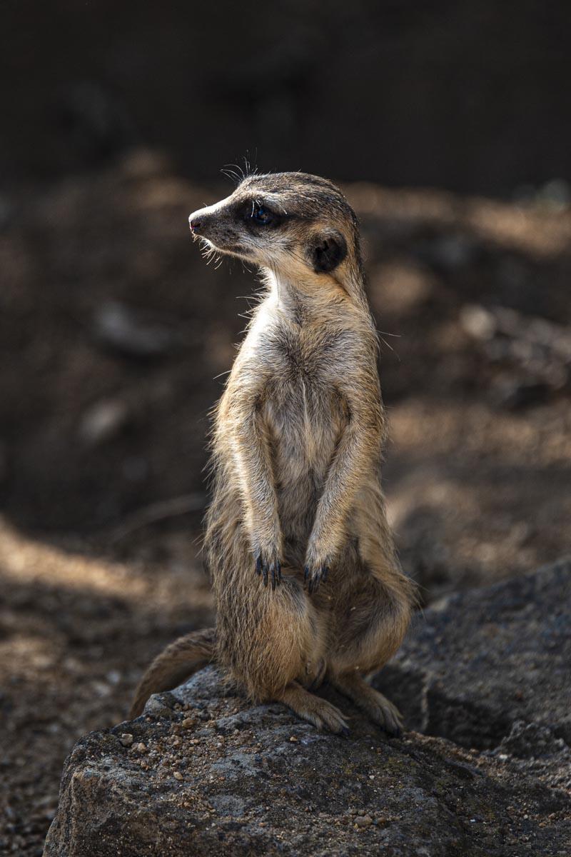 Fotografování přírody a zvířat - surikata