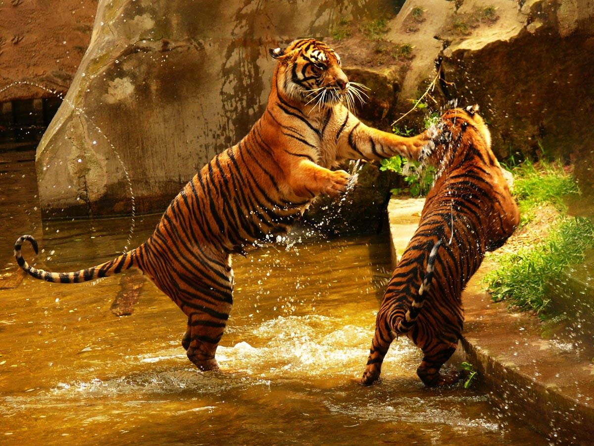 Tygři si hrají ve vodě - foto fauna a flora