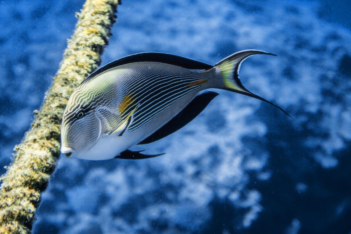Podvodní fotky - Rudé moře - bodlok, Sohal-surgeonfish
